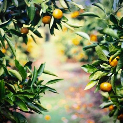 Terry Powell Orange grove